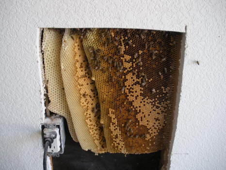 honey bee hive in wall.