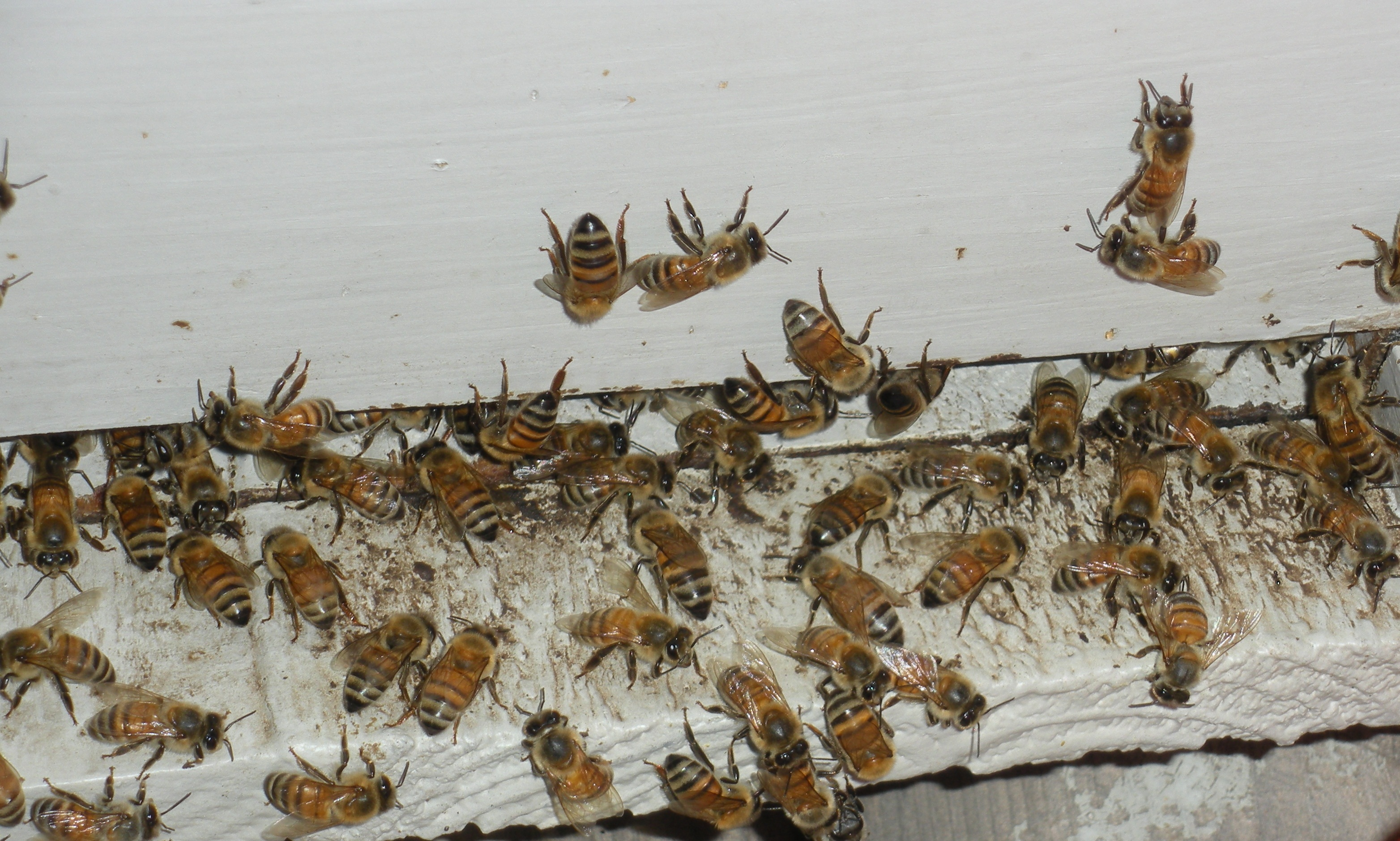 My Honeybees going into there bee hive